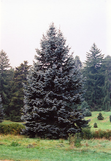 Decorative Blue Spruce : Hoopsii blue spruce picea pungens in toronto