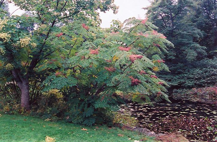Japanese Angelica Tree Aralia Elata In Toronto