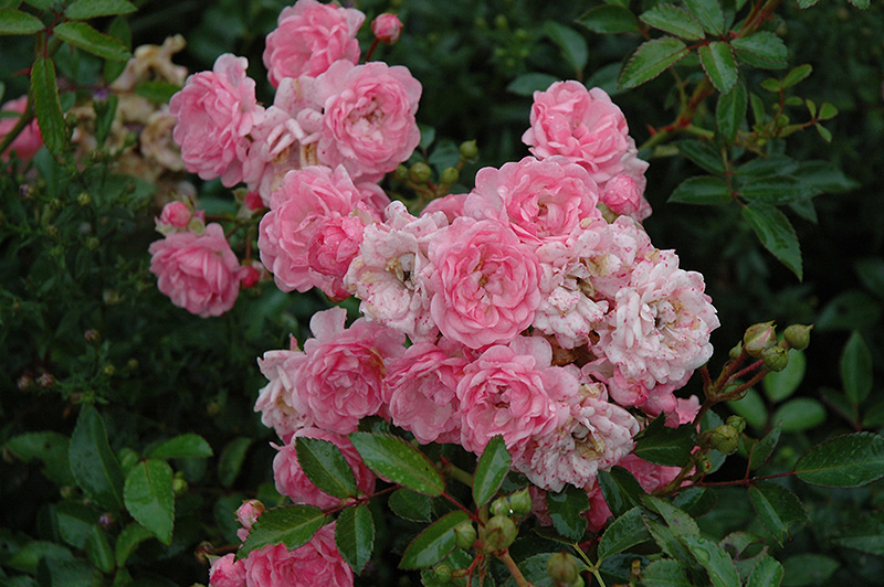 the fairy rose rosa 39 the fairy 39 in toronto orangeville. Black Bedroom Furniture Sets. Home Design Ideas