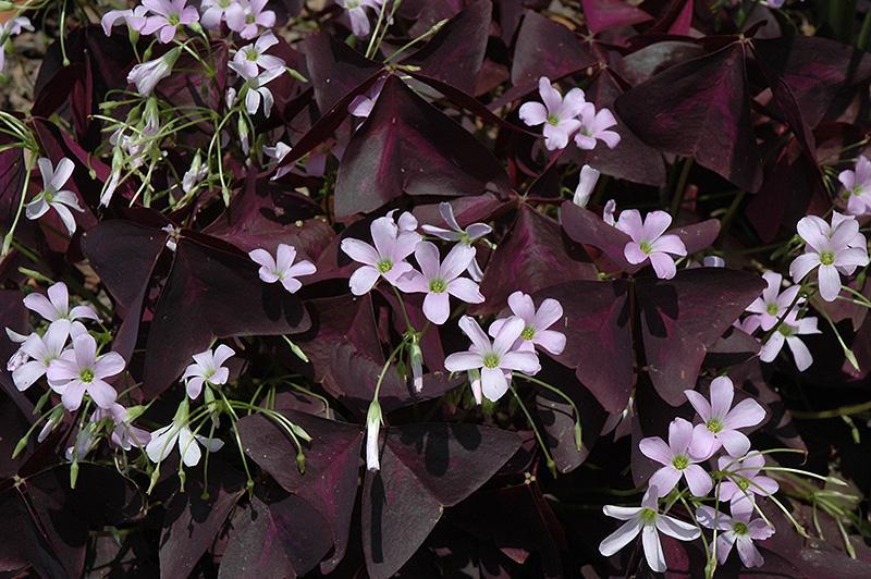 Purple shamrock oxalis regnellii 39 triangularis 39 in toronto orangeville bramptom vaughan - Shamrock houseplant ...