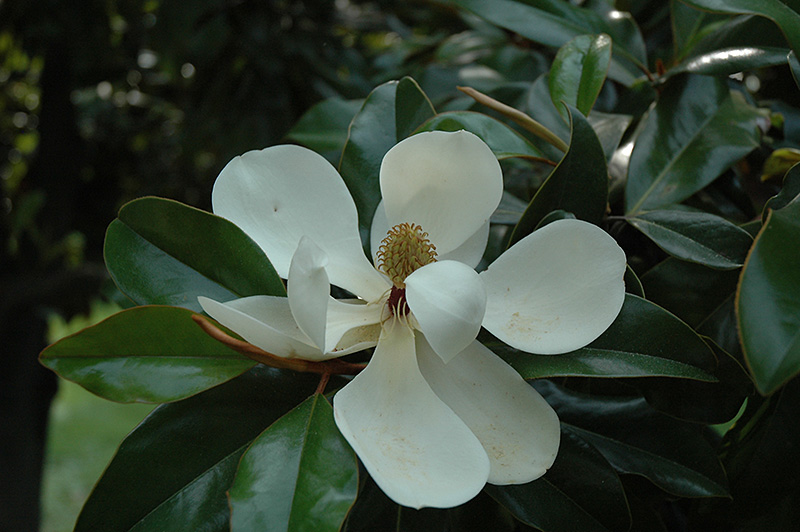 Southern Magnolia Grandiflora At Glen Echo Nurseries