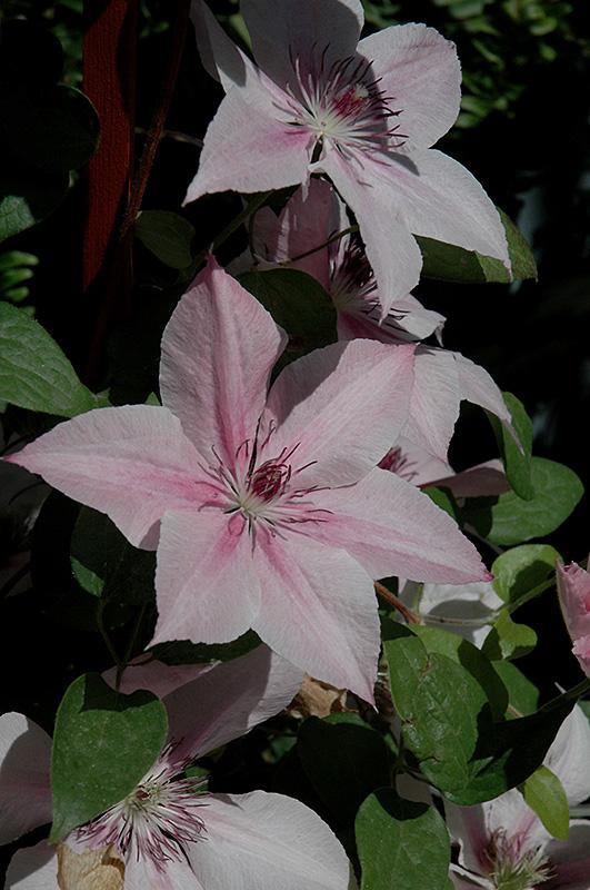 pink fantasy clematis clematis 39 pink fantasy 39 in toronto. Black Bedroom Furniture Sets. Home Design Ideas