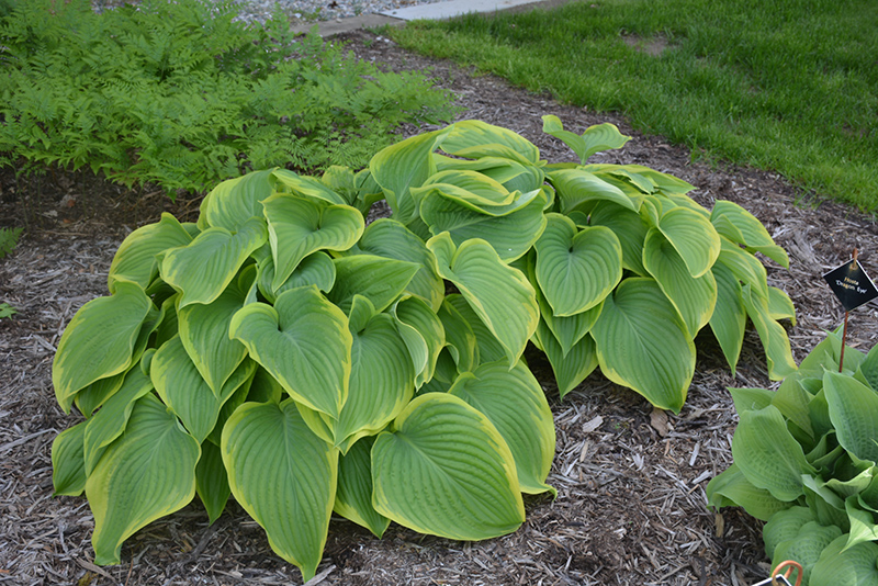 Victory Hosta (Hosta 'Victory') at Glen Echo Nurseries
