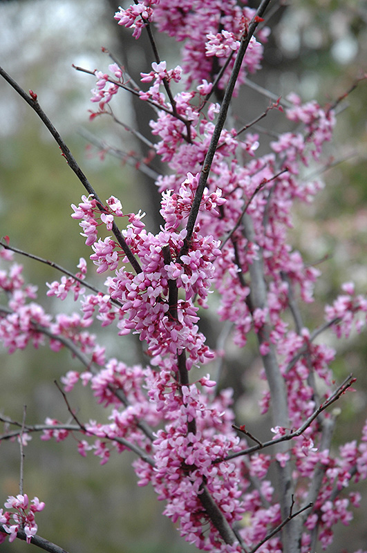 Forest Pansy Redbud Cercis Canadensis Forest Pansy In