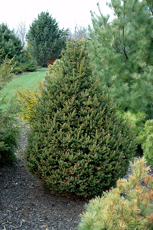 Pyramidal Norway Spruce Picea Abies Pyramidata In Toronto