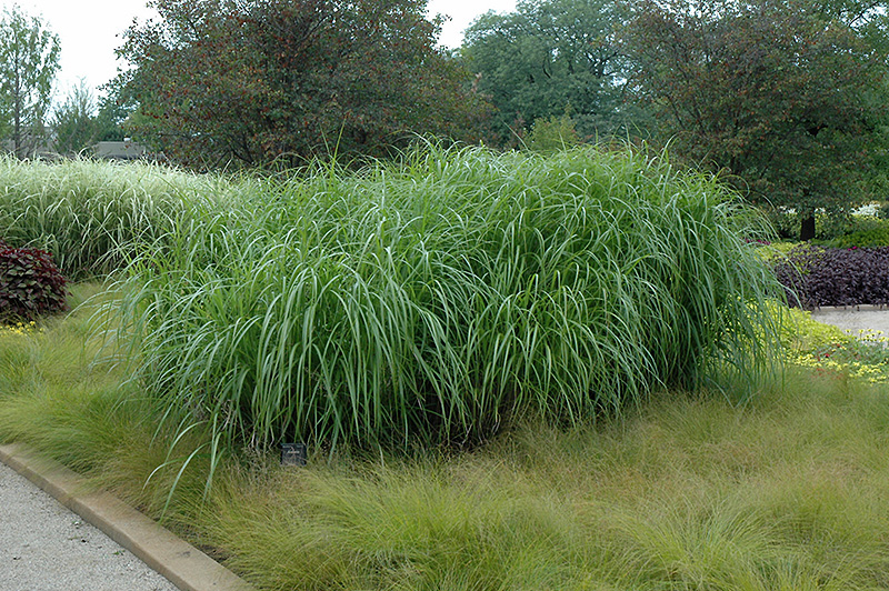 Andante maiden grass miscanthus sinensis 39 andante 39 in for Japanese mounding grass