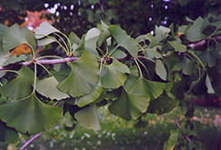 Ginkgo (Ginkgo biloba) at Glen Echo Nurseries