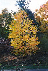 Katsura Tree (Cercidiphyllum japonicum) at Glen Echo Nurseries