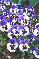 Baby Bingo Pansy (Viola 'Baby Bingo') at Glen Echo Nurseries