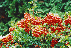 Yukon Belle Scarlet Firethorn (Pyracantha coccinea 'Yukon Belle') at Glen Echo Nurseries