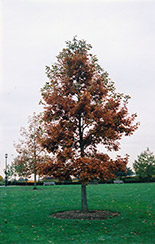 Swamp White Oak (Quercus bicolor) at Glen Echo Nurseries
