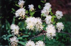 Blue Mist Fothergilla (Fothergilla gardenii 'Blue Mist') at Glen Echo Nurseries