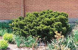 Dwarf Japanese Yew (Taxus cuspidata 'Nana') at Glen Echo Nurseries