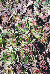 Kalinda Hens And Chicks (Sempervivum 'Kalinda') at Glen Echo Nurseries