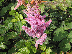 Heart and Soul Astilbe (Astilbe 'Heart and Soul') at Glen Echo Nurseries