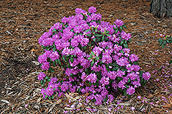 Compact P.J.M. Rhododendron (Rhododendron 'P.J.M. Compact') at Glen Echo Nurseries