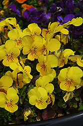 Penny Yellow Pansy (Viola cornuta 'Penny Yellow') at Glen Echo Nurseries