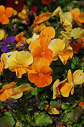 Penny Orange Pansy (Viola cornuta 'Penny Orange') at Glen Echo Nurseries