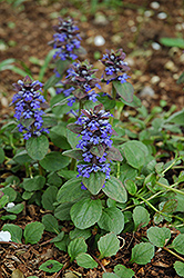 Caitlin's Giant Bugleweed (Ajuga reptans 'Caitlin's Giant') at Glen Echo Nurseries