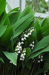 Lily-Of-The-Valley (Convallaria majalis) at Glen Echo Nurseries