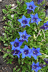 Spring Gentian (Gentiana acaulis) at Glen Echo Nurseries