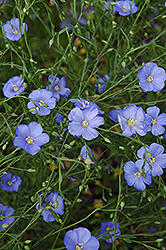 Perennial Flax (Linum perenne) at Glen Echo Nurseries