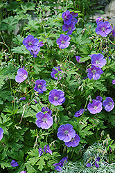 Johnson's Blue Cranesbill (Geranium 'Johnson's Blue') at Glen Echo Nurseries