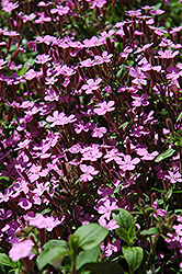 Rock Soapwort (Saponaria ocymoides) at Glen Echo Nurseries
