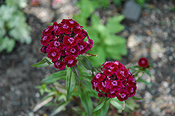 Sweet William (Dianthus barbatus) at Glen Echo Nurseries