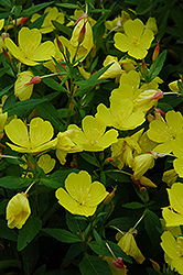 Yellow Sundrops (Oenothera tetragona) at Glen Echo Nurseries