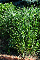 Switch Grass (Panicum virgatum) at Glen Echo Nurseries