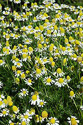 Chamomile (Matricaria recutita) at Glen Echo Nurseries