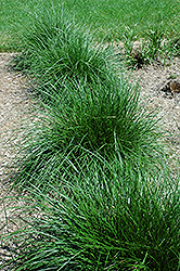 Tufted Hair Grass (Deschampsia cespitosa) at Glen Echo Nurseries