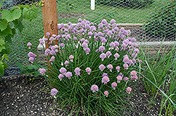 Chives (Allium schoenoprasum) at Glen Echo Nurseries