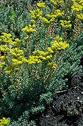 Blue Spruce Stonecrop (Sedum rupestre) at Glen Echo Nurseries