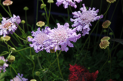 Giant Blue Pincushion Flower (Scabiosa 'Giant Blue') at Glen Echo Nurseries