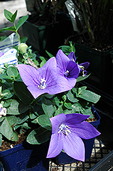 Astra Blue Balloon Flower (Platycodon grandiflorus 'Astra Blue') at Glen Echo Nurseries