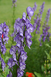Common Monkshood (Aconitum napellus) at Glen Echo Nurseries