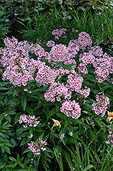 Bright Eyes Garden Phlox (Phlox paniculata 'Bright Eyes') at Glen Echo Nurseries