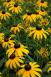Goldsturm Coneflower (Rudbeckia fulgida 'Goldsturm') at Glen Echo Nurseries