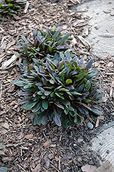 Chocolate Chip Bugleweed (Ajuga reptans 'Chocolate Chip') at Glen Echo Nurseries