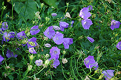 Carpathain Bellflower (Campanula carpatica) at Glen Echo Nurseries