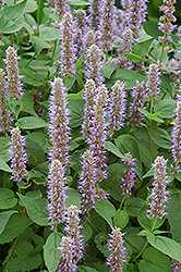 Blue Fortune Anise Hyssop (Agastache 'Blue Fortune') at Glen Echo Nurseries