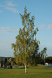 Cutleaf Weeping Birch (Betula pendula 'Dalecarlica') at Glen Echo Nurseries