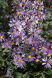 Bluebird Aster (Aster laevis 'Bluebird') at Glen Echo Nurseries