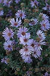 Woods Blue Aster (Aster 'Woods Blue') at Glen Echo Nurseries