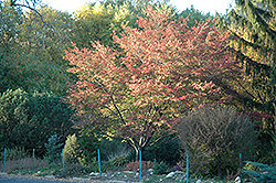 Robin Hill Serviceberry (Amelanchier x grandiflora 'Robin Hill') at Glen Echo Nurseries