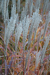 Flame Grass (Miscanthus sinensis 'Purpurascens') at Glen Echo Nurseries