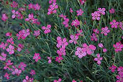 Maiden Pinks (Dianthus deltoides) at Glen Echo Nurseries