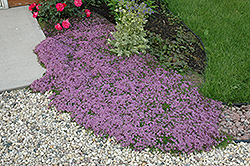 Red Creeping Thyme (Thymus praecox 'Coccineus') at Glen Echo Nurseries